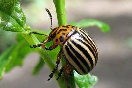 Колорадський жук. Менше хімії, побільше кмітливості