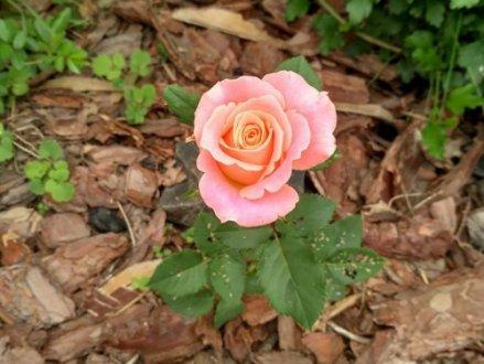 Посадка троянд у відкритий грунт весною